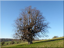 TQ5344 : Isolated tree on the Penshurst Estate by Marathon
