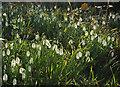 SX7558 : Snowdrops near West Leigh Cross by Derek Harper