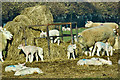 NZ5105 : Busby lambs by Mick Garratt