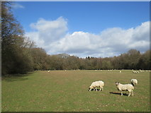 TQ4660 : Sheep grazing near Knockholt by Malc McDonald