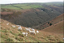 SS6549 : Sheep above Heddon's Mouth Cleave by Bill Boaden