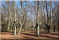 TQ4298 : Pollarded Trees in Epping Forest by Des Blenkinsopp