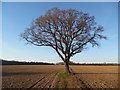 SP9605 : Solitary Oak Tree near Ashley Green, Bucks by David Hillas