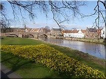 NT5173 : Daffodils near Nungate Bridge in Haddington by Jennifer Petrie