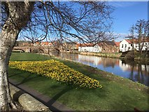 NT5173 : Daffodils by the River Tyne in  Haddington by Jennifer Petrie