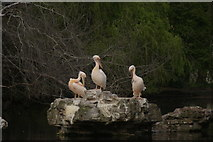 TQ2979 : View of the pelicans in St. James's Park preening on the rockery by Robert Lamb