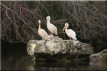 TQ2979 : View of the pelicans in St. James's Park preening on the rockery #2 by Robert Lamb