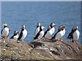 NT6599 : A circus of puffins by Oliver Dixon