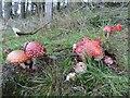 SO1053 : Lots of fungi by Bill Nicholls