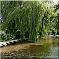 SJ8841 : Weeping willow near Trentham in Stoke-on-Trent by Roger  Kidd