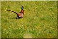 H5970 : Cock pheasant, Drumlester by Kenneth  Allen