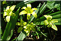 NJ3152 : Yellow Star-of-Bethlehem (Gagea lutea) by Anne Burgess