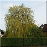 TQ2688 : Willow tree on Kingsley Way, Hampstead Garden Suburb by David Howard