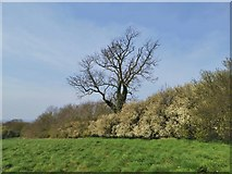 TA0114 : Blossom by Middle Barn Hill, Worlaby by Chris Morgan