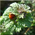 NJ2369 : Henbit Dead-nettle (Lamium amplexicaule) with Ladybird by Anne Burgess