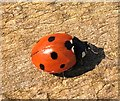 NO4302 : Seven-spot ladybird by Bill Kasman