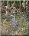 NH6546 : Grey Heron by valenta