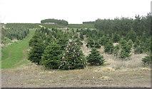 NT0442 : Christmas trees at Hyndshawland by M J Richardson