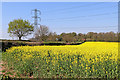 SO7999 : Oil seed rape near Stanlow in Shropshire by Roger  Kidd
