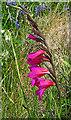 SW7011 : Eastern Gladiolus (Gladiolus communis) by Anne Burgess