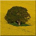 SO6622 : Single oak tree by Jonathan Billinger