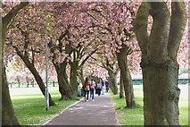 NT2572 : Blossom on The Meadows, Edinburgh by Jim Barton