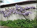 TQ7718 : Wisteria in flower, Sedlescombe by Patrick Roper