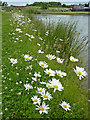 SO9163 : Canalside flowers east of Droitwich Spa, Worcestershire by Roger  Kidd