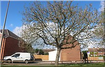 SP9726 : Tree on Watling Street, Hockliffe by David Howard
