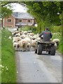 NY4164 : Sheep jam on the Reivers Cycle Route by Oliver Dixon