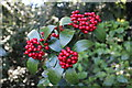 SH5573 : Skimmia japonica at Plas Cadnant by Richard Hoare