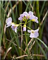 NH9358 : Cuckoo Flower on the margin of Loch Loy by valenta