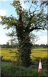 SP6359 : Tree by Heyford Lane, Weedon Bec by David Howard