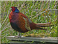 ST3383 : A pheasant family, Newport Wetlands (1) by Robin Drayton