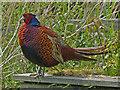 ST3383 : A pheasant family, Newport Wetlands (1) by Robin Drayton
