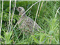 ST3383 : A pheasant family, Newport Wetlands (2) by Robin Drayton