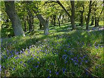 NH5857 : Bluebells in Drummondreach Oak Wood by Julian Paren