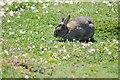 SM7208 : Rabbit on Skomer by Philip Halling