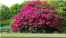NO3711 : Rhododendron at Hill of Tarvit by Bill Kasman