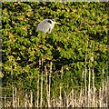 NH6546 : Grey Heron in Merkinch Local Nature Reserve by valenta