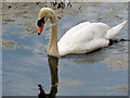 SD7908 : Mute Swan on the Manchester, Bolton and Bury Canal by David Dixon