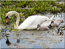 SD7908 : Mute Swan and Cygnets, Manchester, Bolton and Bury canal by David Dixon