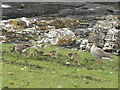 NM5237 : Greylag Geese in Scarisdale by M J Richardson
