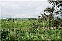 NO5101 : Scots Pine by Richard Sutcliffe