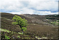 NO1893 : Heather slope with lone birch tree by Trevor Littlewood
