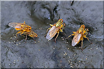 NU0149 : Mating Yellow Dung Flies by Walter Baxter