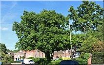 TQ2688 : Tree on Winnington Road, Hampstead Garden Suburb by David Howard