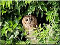 SJ5031 : Tawny Owl in Hedgerow by David Dixon