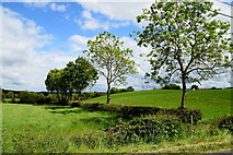 H5375 : Trees along a hedge, Drumnakilly by Kenneth  Allen
