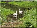 SJ5510 : Swans on the River Tern by David Dixon